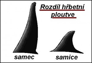 Výsledek obrázku pro kosatka dravá která žere rybu